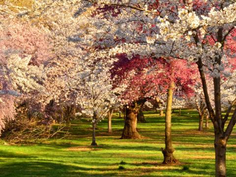 小溪公園櫻花節時盛開的櫻花